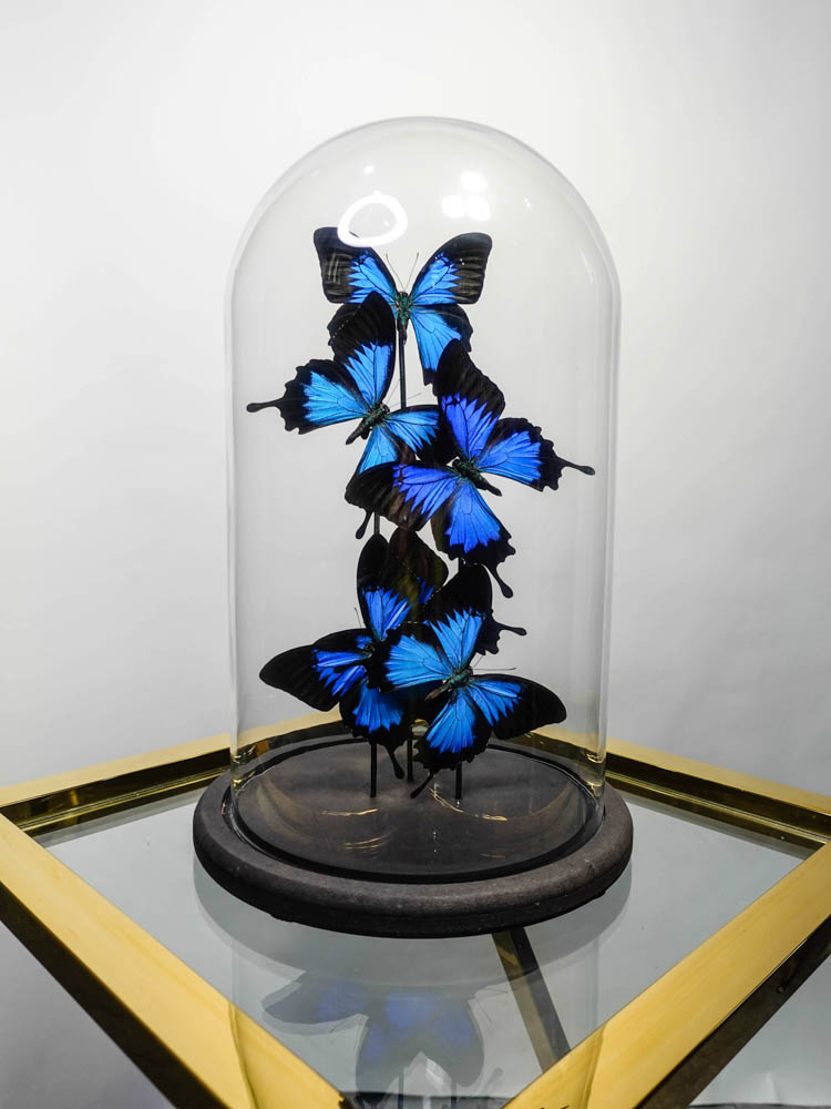 Papilio Ulysses in Stolp